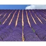 Luigi Alloni Ondulex lavande - Valensole - Provence